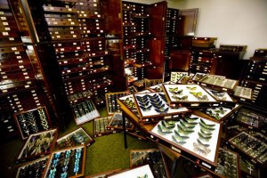 A Collection - The Rothschild Butterfly Collection stored in mahogany cases at Harrow School. The collection comprises 3,500 butterfly specimens